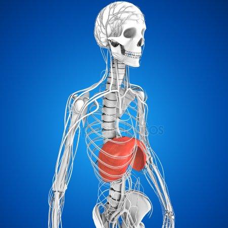 The Diaphragm, We All Breathe Uniquely